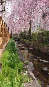 枝垂れ桜と鈴蘭水仙